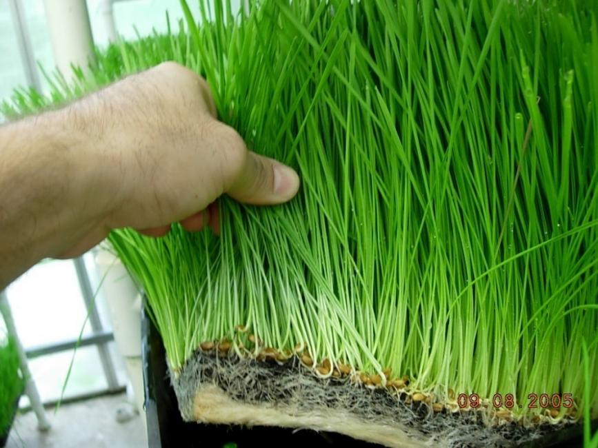 Cuáles son los beneficios de beber pasto de trigo? | Bioguia