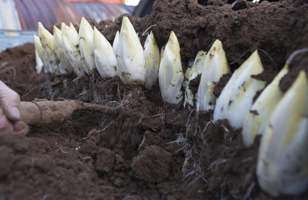 Cómo cultivar endibias o endivias paso a paso