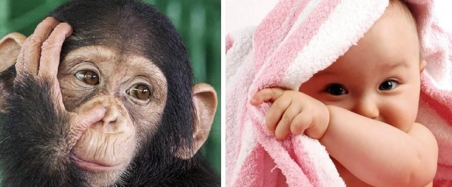 Cuatro de los cinco chimpancés producían imitaciones