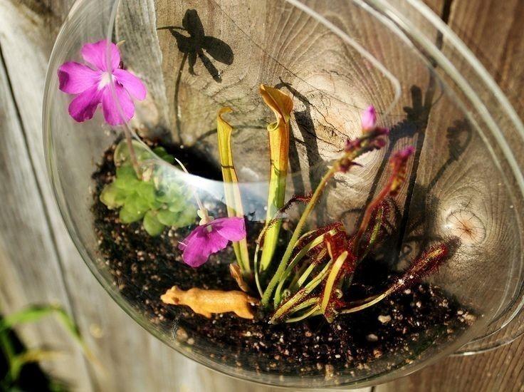 Cómo cultivar plantas carnívoras en esferas de vidrio- terrario