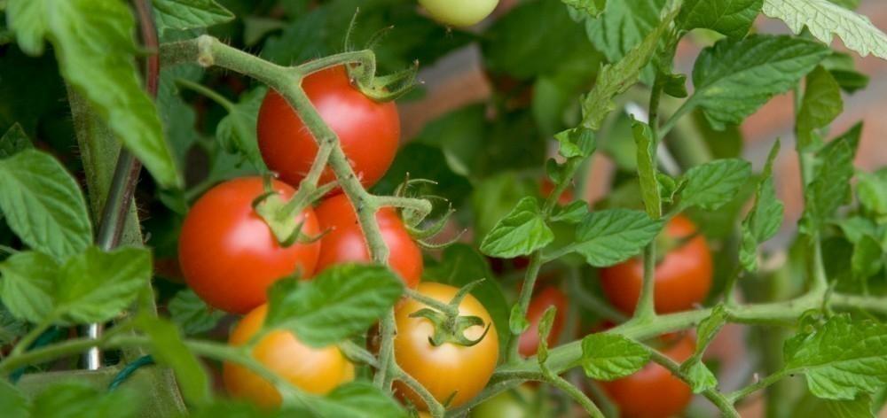 cultivar en botes de pintura - tomate