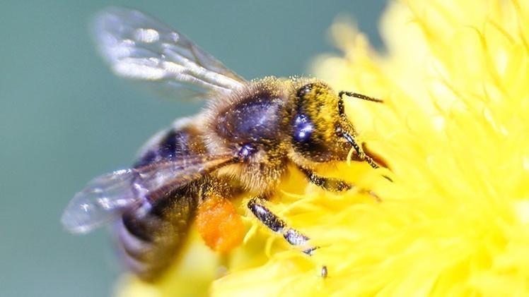 Los neonicotinoides son los insecticidas más comúnmente usados y se ha demostrado que tienen efectos devastadores en las colonias de abejas