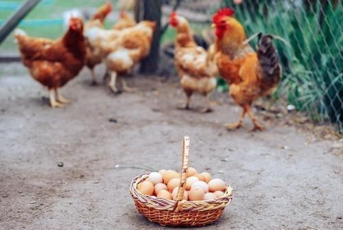 Los huevos de gallinas camperas serán los únicos vendidos en los supermercados franceses en 2022