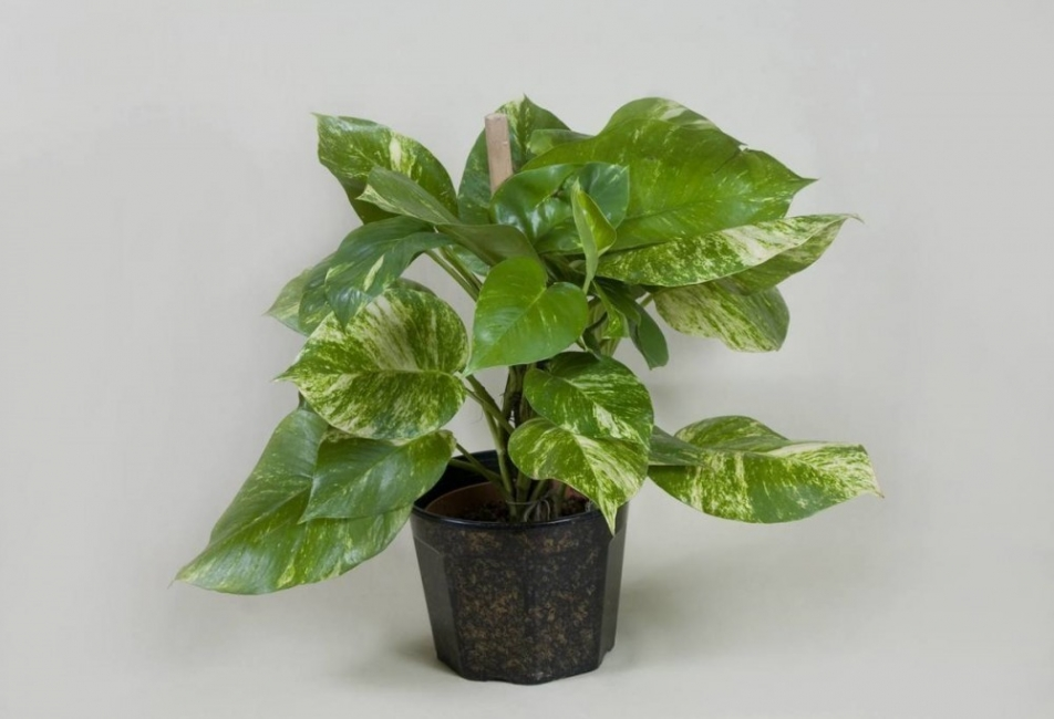 cómo salvar una planta seca - planta renovada