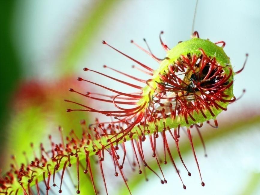 plantas carnívoras - drosera