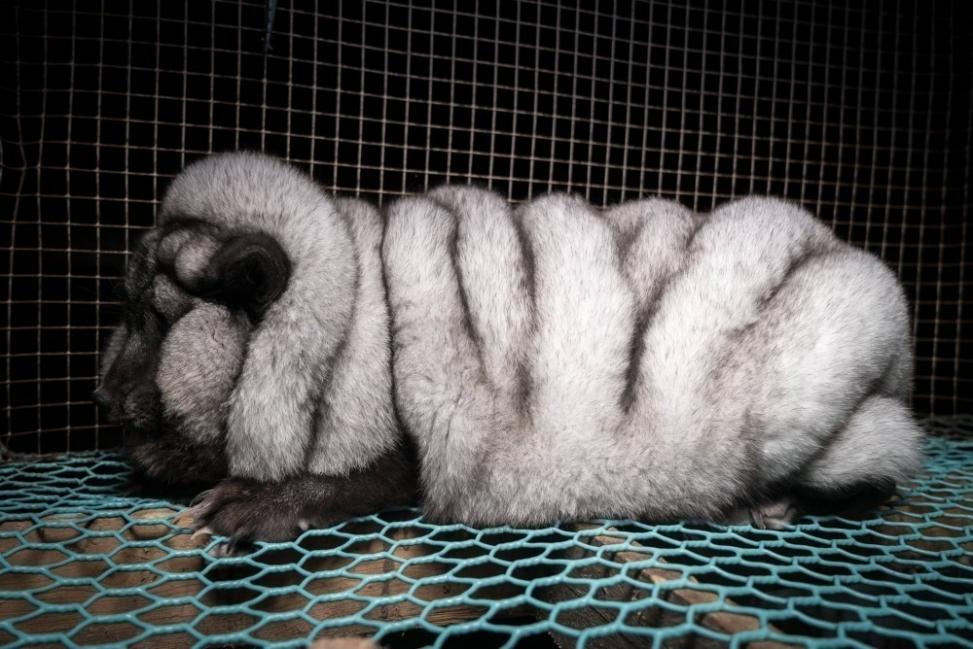 Estos animales pueden pesar hasta cinco veces su peso normal