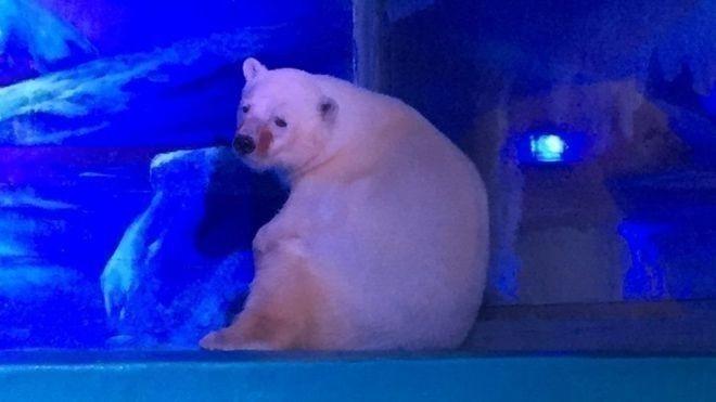 pizza, el nuevo oso polar más triste del planeta