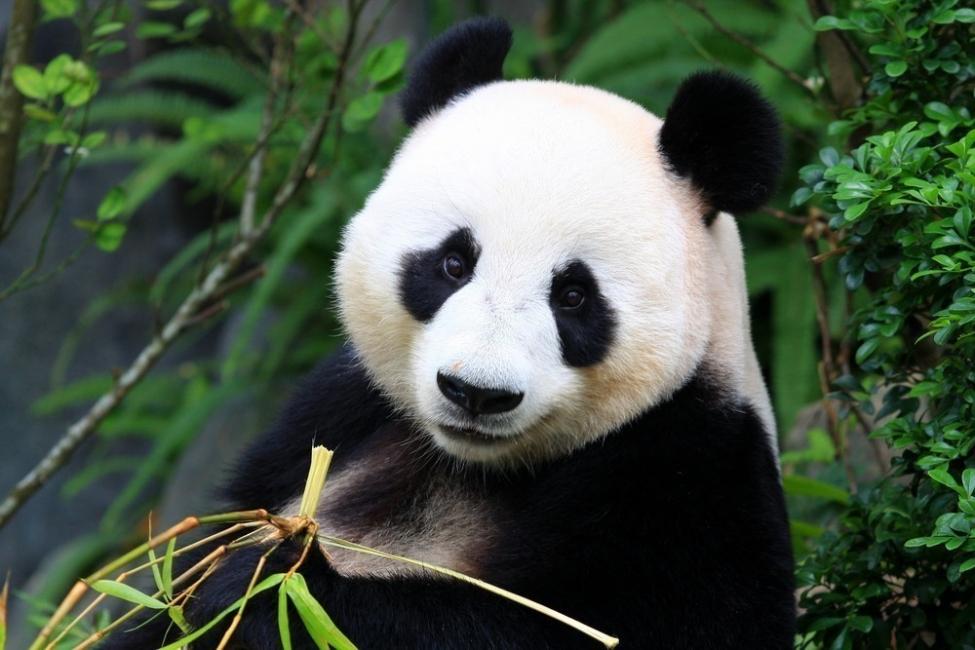 panda  -peligro de extinción