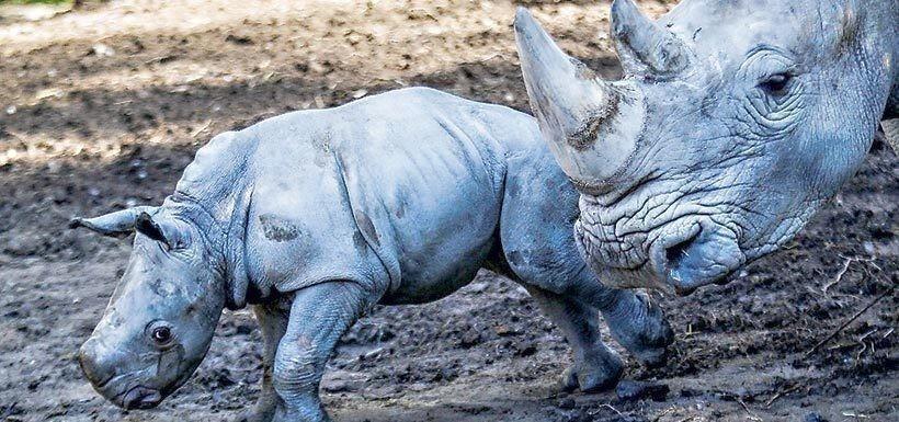 Pantaleón es el primer rinoceronte blanco nacido en Sudamerica