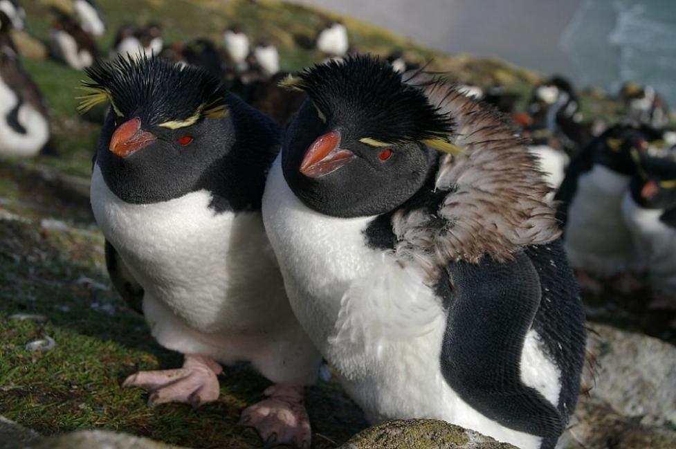 Los pingüinos transportan elementos químicos y por lo tanto causan la acumulación en las áreas terrestres a través de sus excretas
