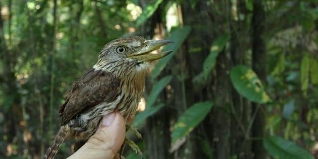 Especie descubierta en el Amazonas
