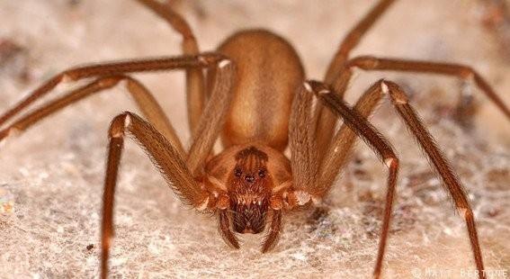 En Sudamérica se les conoce como araña del rincón o del cuadro