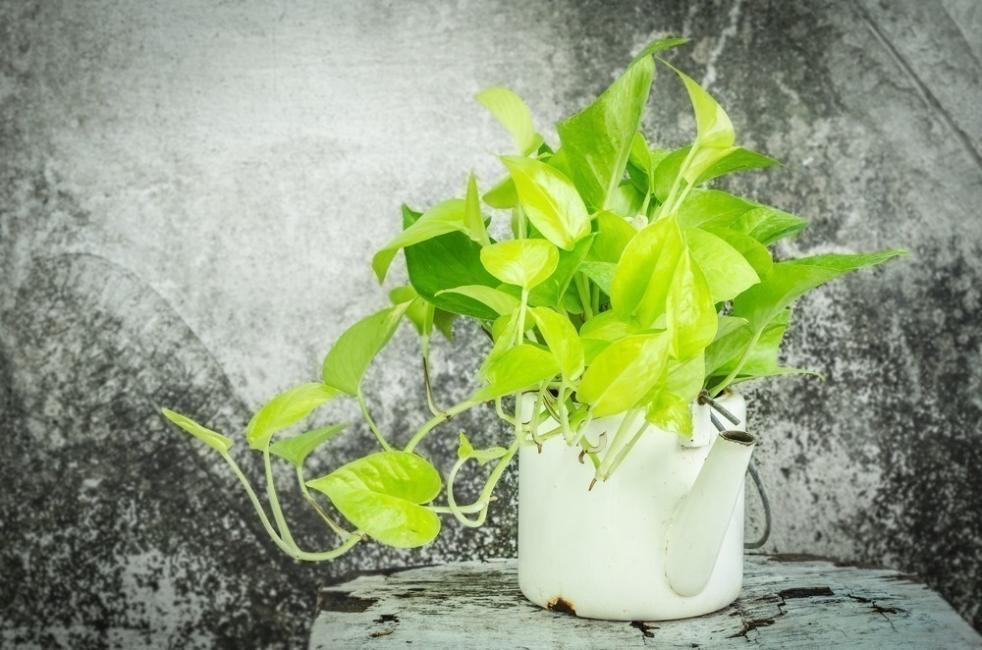 plantas de poco riego - Pothus