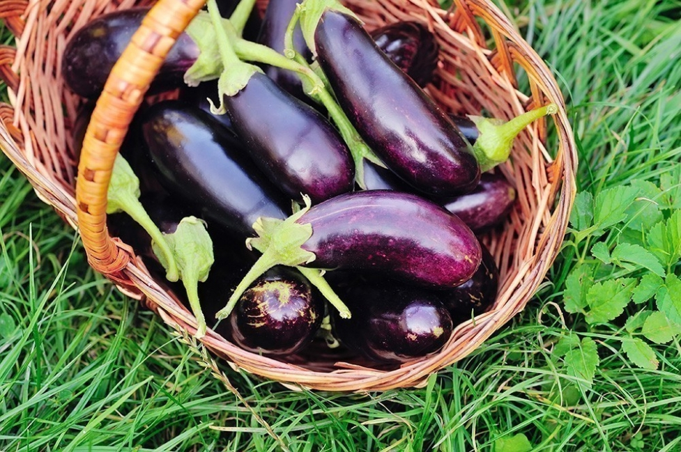 cultivar berenjenas en macetas- cosecha