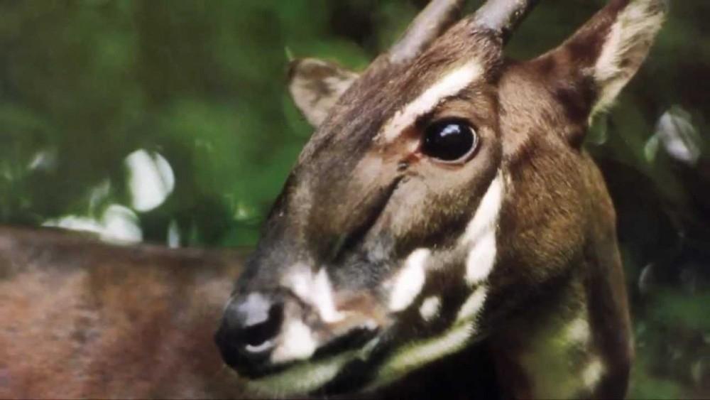 animales en peligro de extinción  - Saola