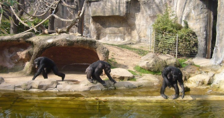 Simios en Furuvik Zoo