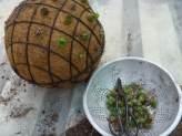 Succulent-sphere6