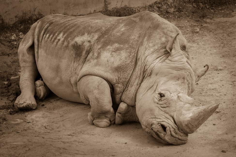Animales en peligro de extinción - Rinoceronte de Java