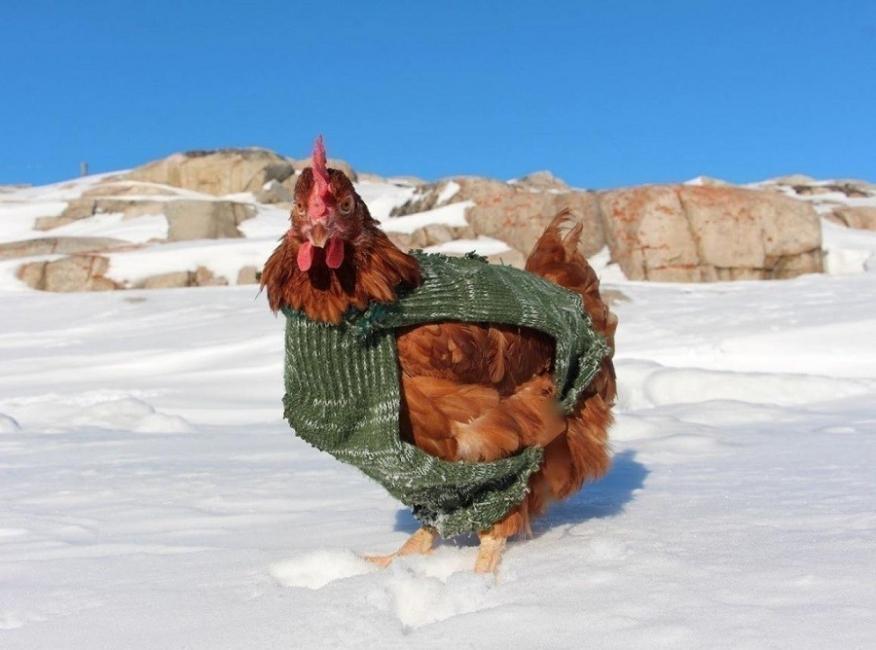Guirec Soudee- viajar con una gallina - historia