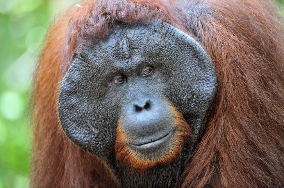animales en peligro de extinción - orangután de sumatra