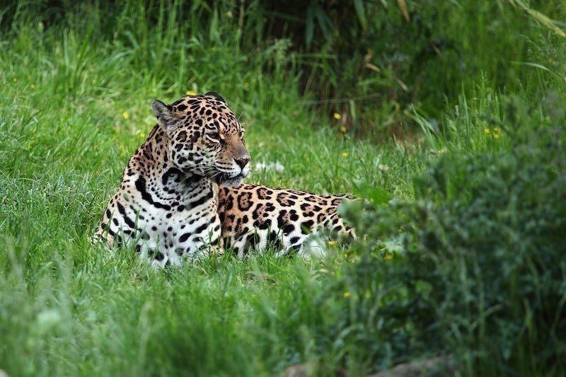 Costa Rica prohíbe la caza deportiva - animal en peligro de extinción