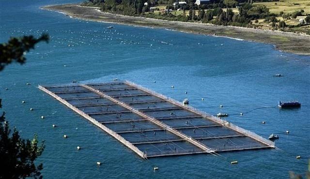 Cría masiva de salmón salar