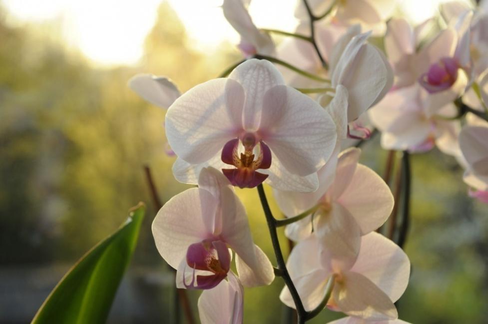 cultivar orquídeas- cuidados