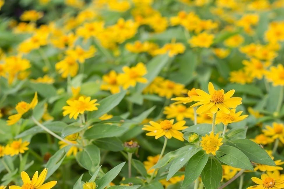 Usos y propiedades del árnica - plantas de árnica