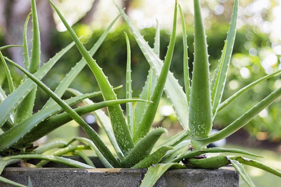 Vegetales y hierbas que puedes tener para siempre - aloe vera