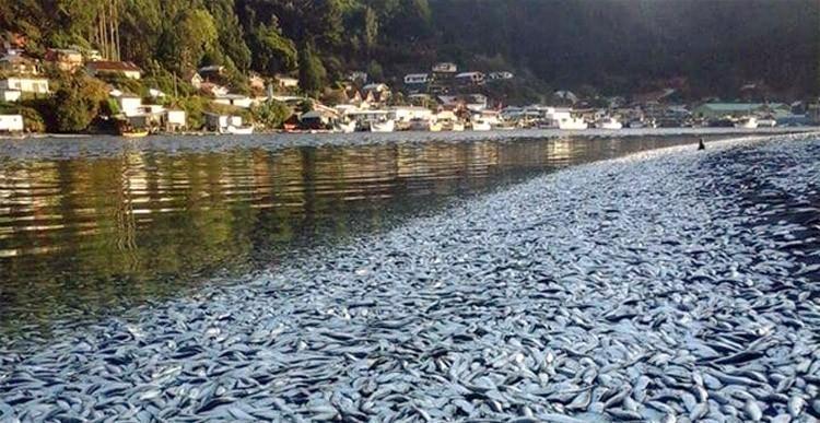 sardinas muertas en chile en las orillas- causas
