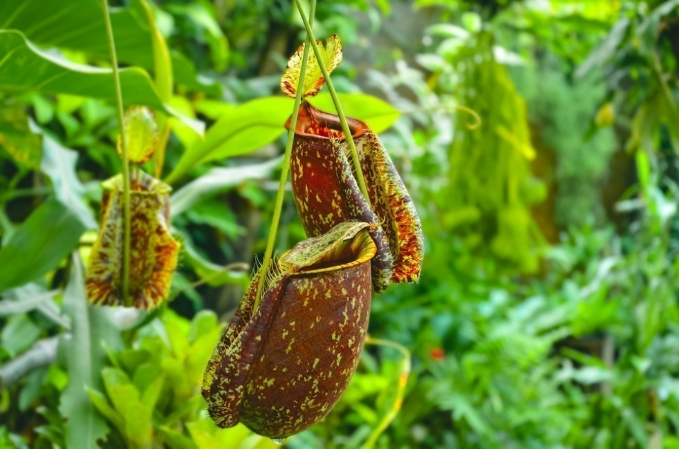 heliámphoras plantas carnívoras- foto