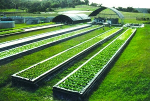 aquaponic_plant_production