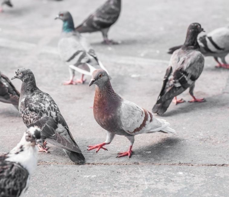 Cómo alejar a las palomas sin dañarlas