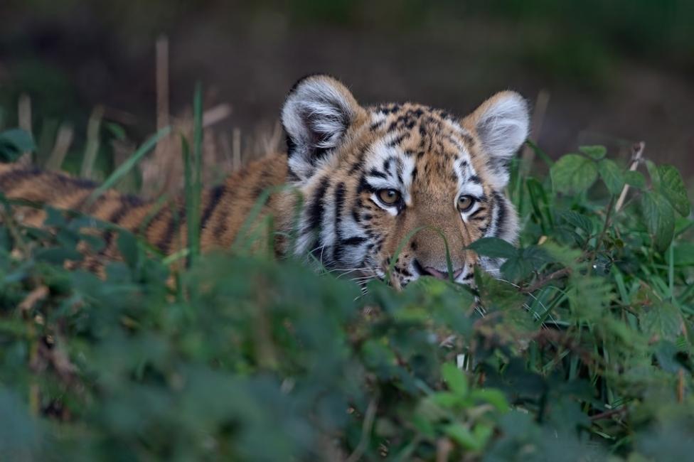 animales en peligro de extinción  tigre de siberia