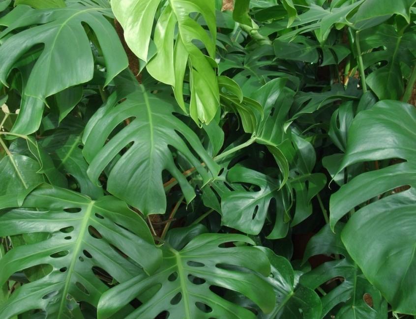 Plantas de poco riego - costilla de Adán