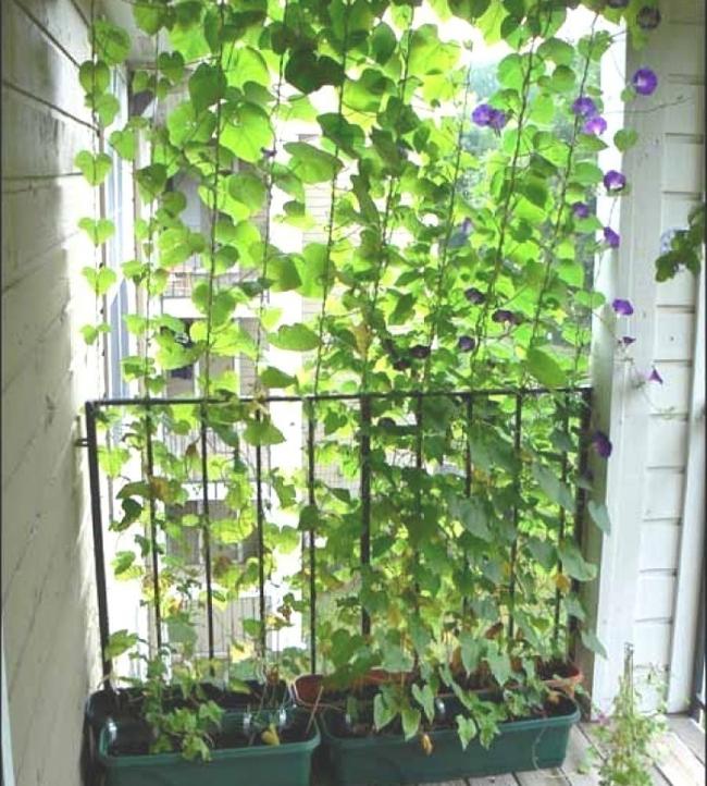 Ideas para crear divisiones verdes en tu jardín -enredadera en el balcón