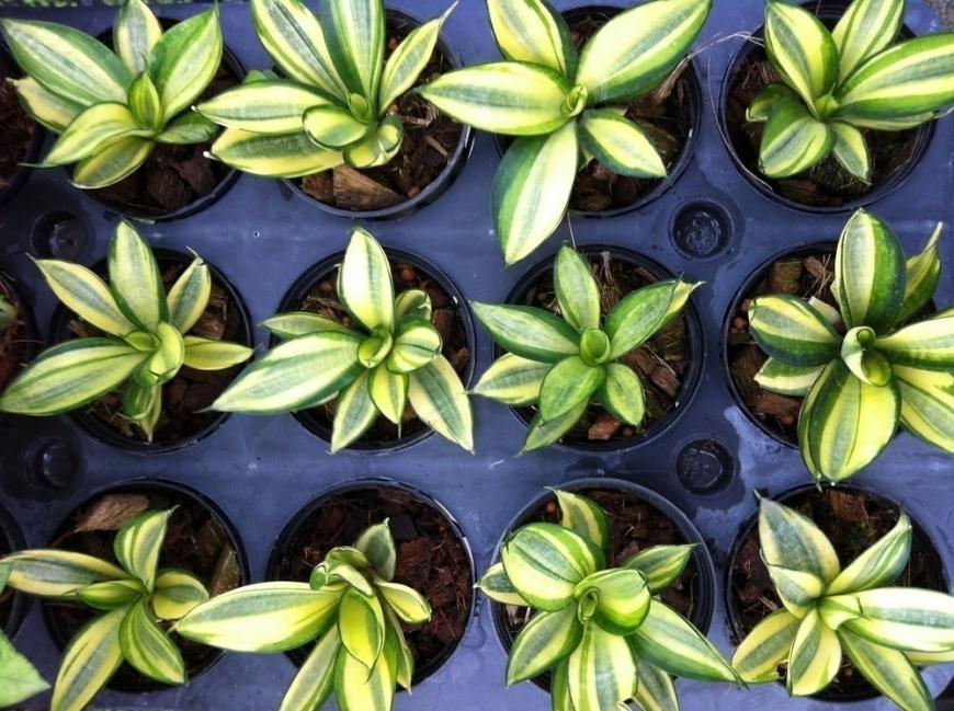 plantas de poco riego - Sansevieria