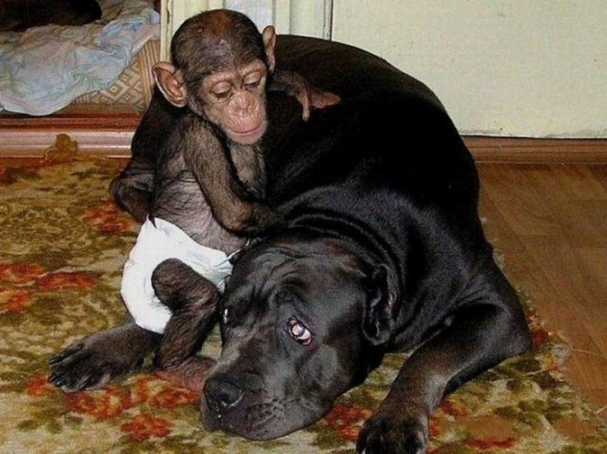 La hermosa historia del bebé chimpancé y su madre adoptiva