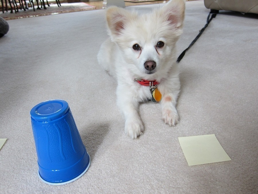 test perro inteligencia