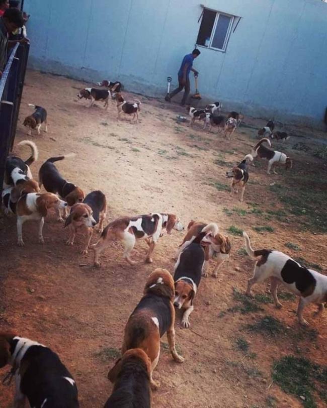 beagles ven el sol