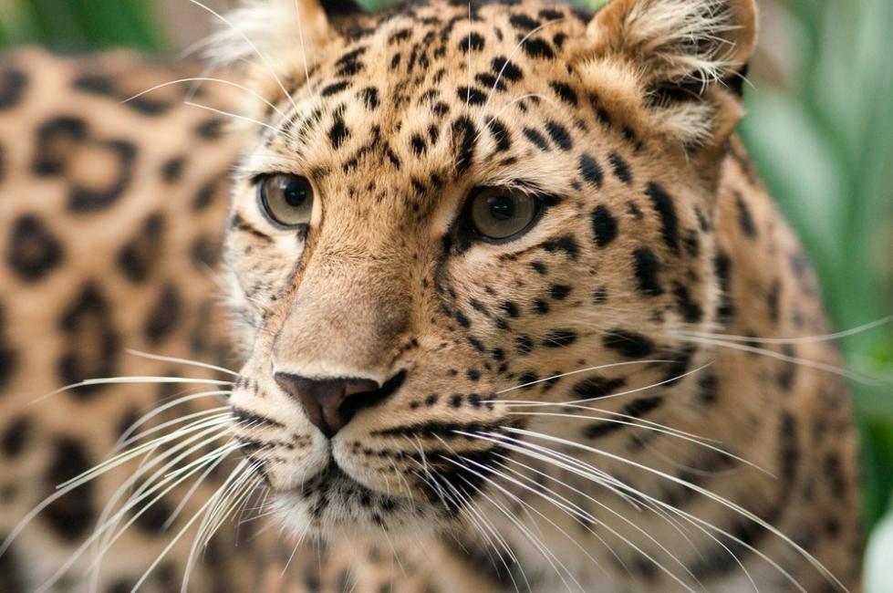 animales en peligro de extinción - leopardo amur