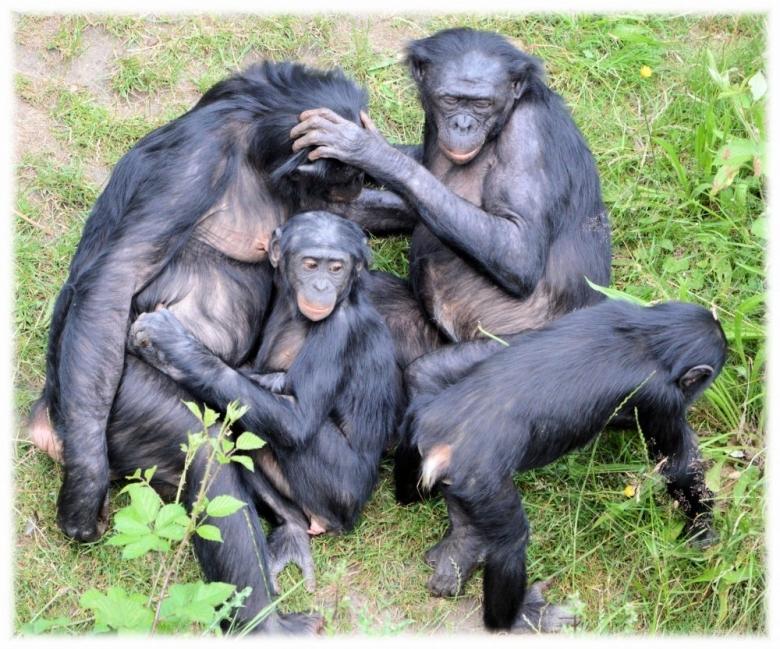 Este es el primer caso en el que cientificos pueden detallar un parto chimpancé