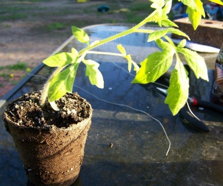tomates invertidos- trasplantar