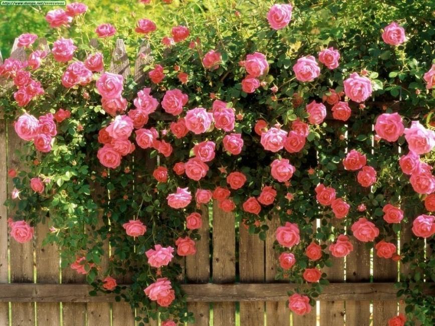 enredaderas- rosal