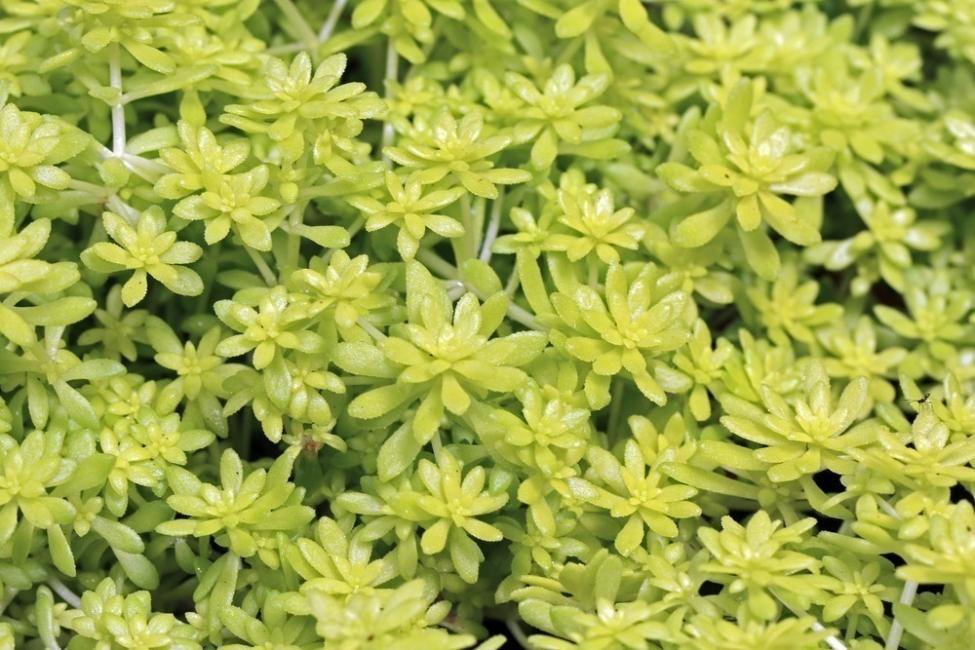 sedum mexicanum