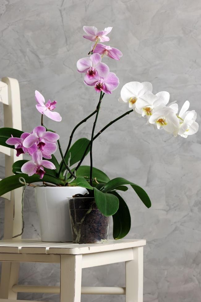 plantas de poco riego - orquídea mariposa