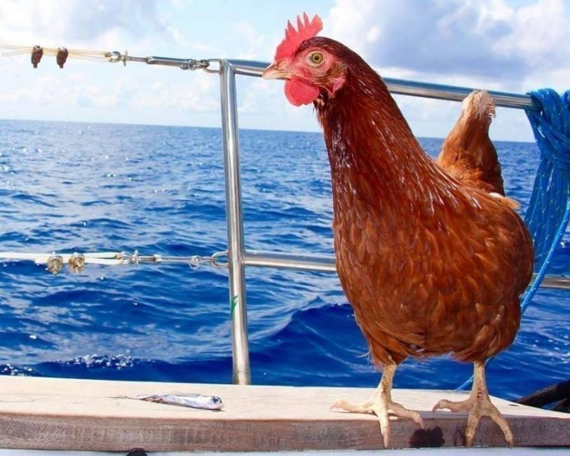 Guirec Soudee- viajar con una gallina - Monique- viajar con animales