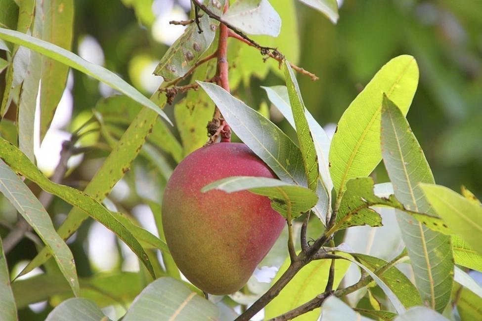 cultivar mango en macetas - recomendaciones y consejos