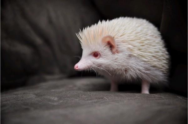 1-Albino-Hedgehog-600x397