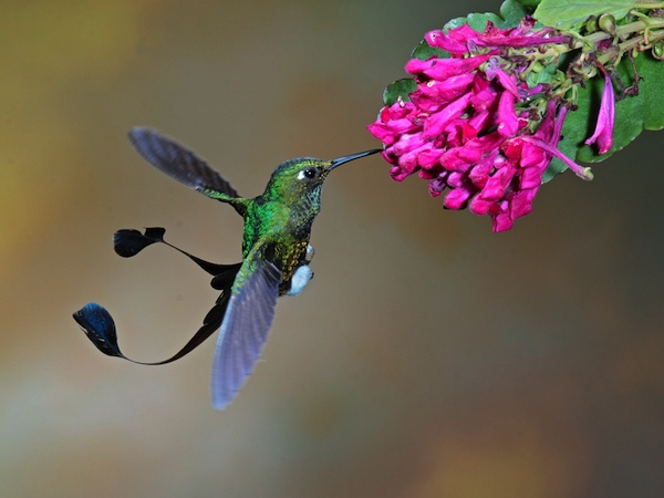 Booted-Racket-tail-Sam-Woods